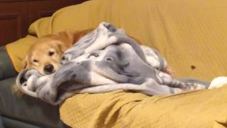 Hi,there! How are you? Do you know my dog? My golden retriever Alia...