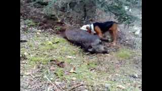 Repeat youtube video Κυνηγι αγριογουρουνου στην Αγια Τριαδα Ευρυτανιας