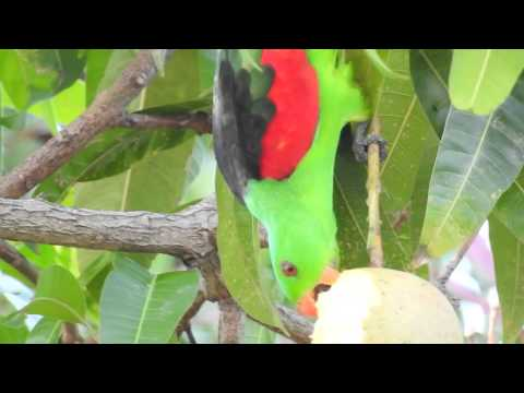 Nikon P900 – Red-winged Parrot 2