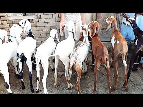 Baixar khalil goat farm 03356051560 - Download khalil goat