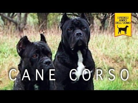 CANE CORSO ITALIANO trailer documentario (Seconda Edizione)
