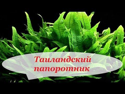 Таиландский папоротник, узколистный, винделов, содержание в аквариуме, размножение.