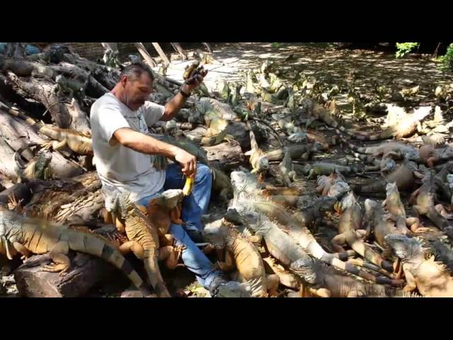 Manzanillo, Colima. Dando de comer a más de 500 iguanas.  Iguanario Archundia