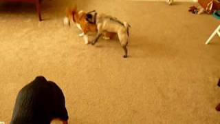 Pembroke Welsh Corgi And Pug Play