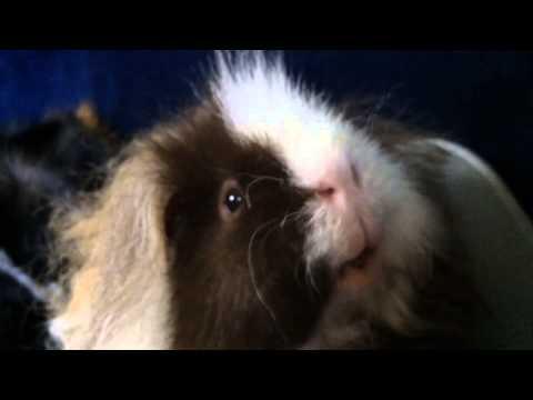 Guinea pig power