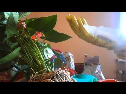 Как пересадить цветок мужское счастье из одного горшка в другой
