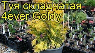 Туя складчатая Форевер Голди. Краткий обзор, описание характеристик thuja plicata 4ever Goldy