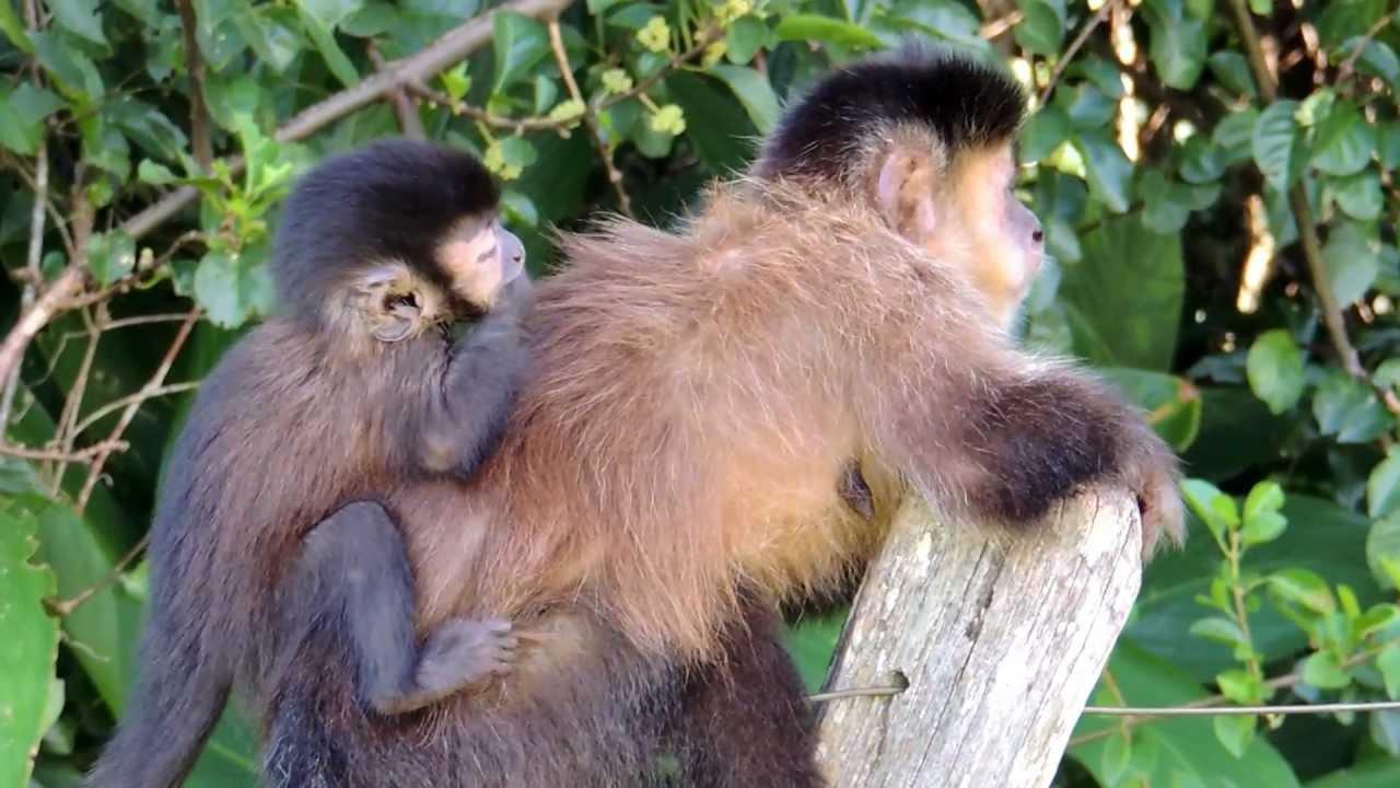 Resultado de imagem para filhotes de macaco em apuros