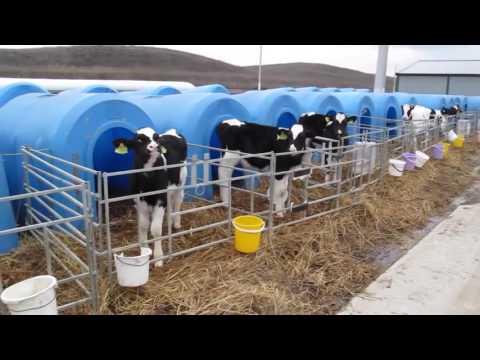 Dairy farming in Russia