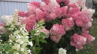 видео Гортензия метельчатая Ваниль Фрэйз