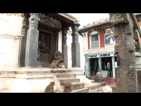 Macaques grooming each other - Swayambhunath temple, Kathmandu