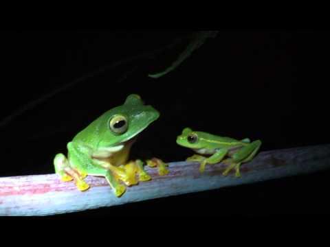 Malabar gliding frog and rachophorus Lateralis
