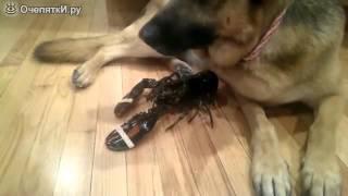 Собак защищает лобстера от ужина
