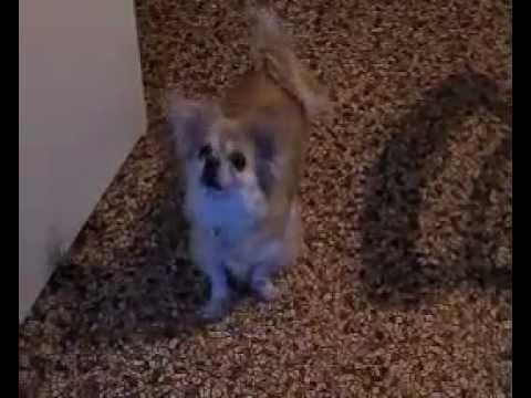 Tibetan Spaniel dog Attack