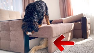 Golden Retriever and Bernese Mountain Dog Puppy Playing Hide and Seek