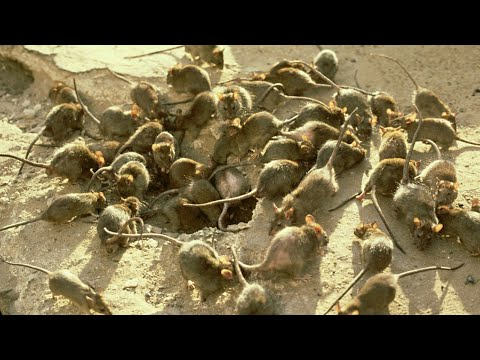 NSW poised to release outlawed poison to combat mouse plague