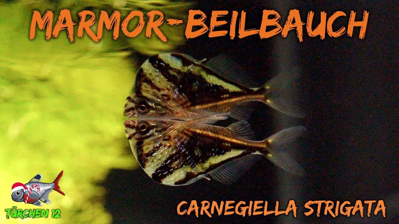 Download Der Marmorierter Beilbauchfisch - Carnegiella strigata   ADVENTdicted! Adventskalender   Türchen 12