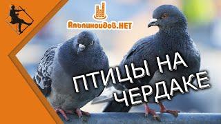 Птицы на чердаке