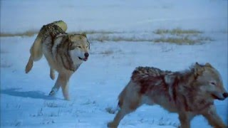 Волки BD Remux.