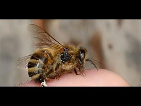 الوطن المصرية:لدغات النحل علاج لخشونة المفاصل