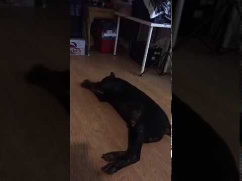 Doberman Break-dancing to Gangnam Style