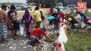 Rush for fish as lorry turns over and spills its contents
