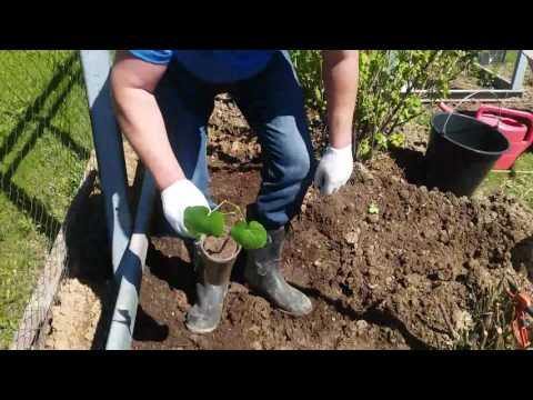 Как правильно сажать виноград в подмосковье