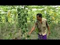 Starting a Business - Papaya Farming Business Plan with Low Investment