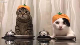 Коты просят еды))) официант ! это видео поднимет настроение)