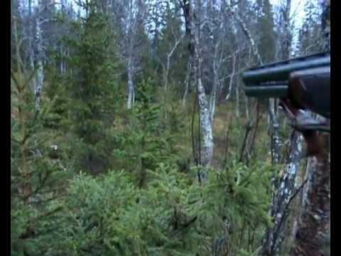 Jakt på kvithare på barmark med beagle og drever.
