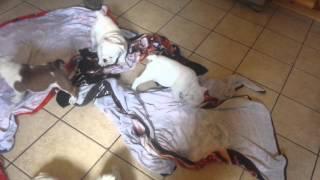 Lemon Tricolor English Bulldog Pups Playing After A Bath