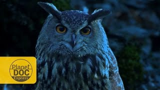 Eagle Owl: Night Vision | Planet Doc Express Documentaries