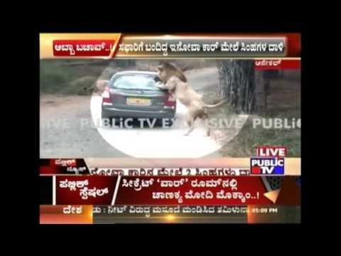 Bangalore  Two Lions Attack Safari Car In Bannerghatta National Park