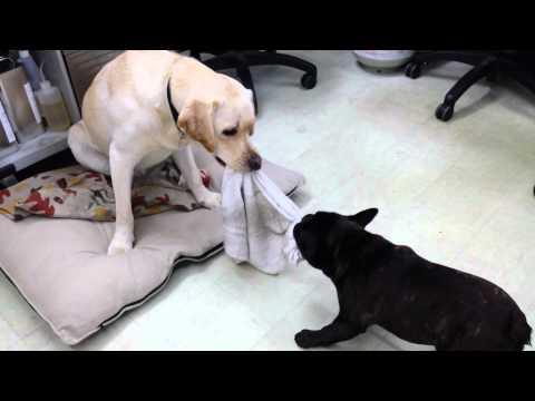 Lab & French Bulldog Playing Tug of War 06.11.2015