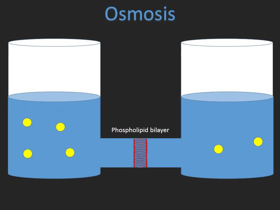 Biology coursework osmosis mark scheme