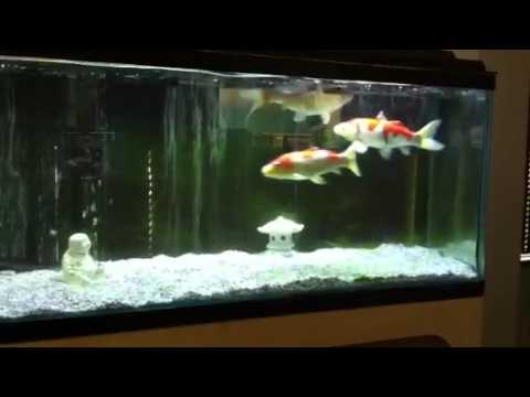 Koi in aquarium youtube for Coy fish tank