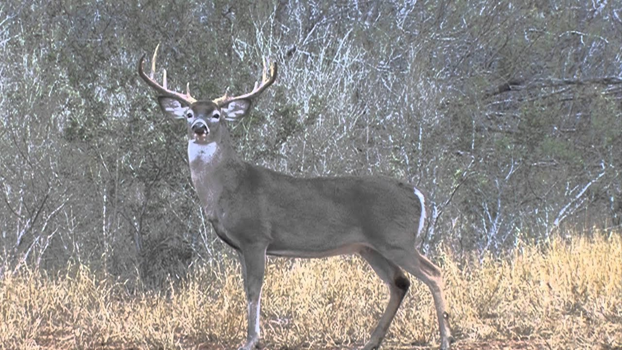 how to call a whitetail buck