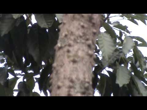 Pau Brasil - Detalhes da árvore