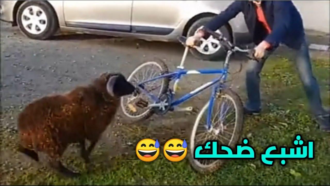 الخروف غاضب ضحك 🤣🤣 فهاد المقاطع #ضحك من قلبك ونسى المشاكل ههههههههه