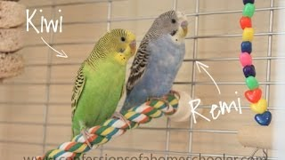 Hand Taming Our New Budgies Thumbnail
