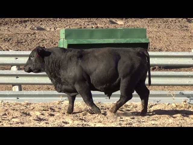 Connealy Angus Lot 217