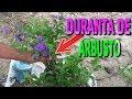Reproducción y cuidado de la Duranta de arbusto ( Duranta repens)|| Info Garden