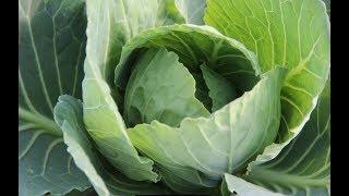 Коротко о Важном. Выращивание Капусты.  Как Получить Отличный Урожай.
