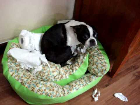 Guilty Boston Terrier – Scooter (Original)