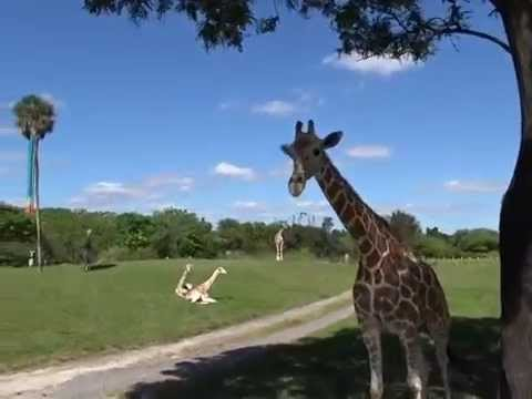 Serengeti Safari Busch Gardens 10 16 2014 YouTube