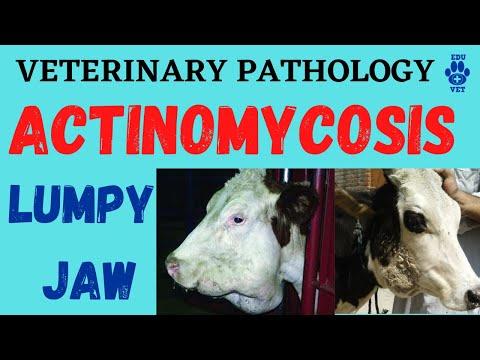 Actinomycosis Or Lumpy Jaw Disease Simplified