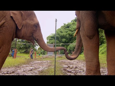 Elephants Learn To Work Together - Super Smart Animals - BBC Earth