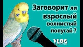 🎓 ✉ Можно ли научить говорить взрослого волнистого попугая?