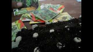 improvisando sementeira caseira (feita com bandeja de ovos)
