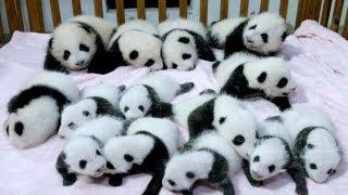 14 panda yavrusu birden